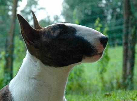 Demidreams Kennel - Bull Terrier Miniature - Home